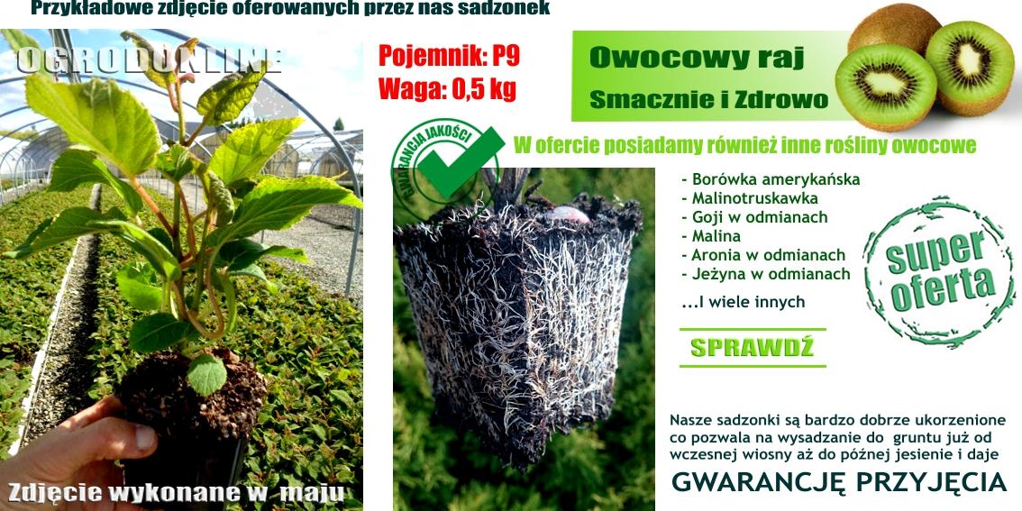 Aktinidia Ostrolistna Issai Samopylna Rośliny Owocowe