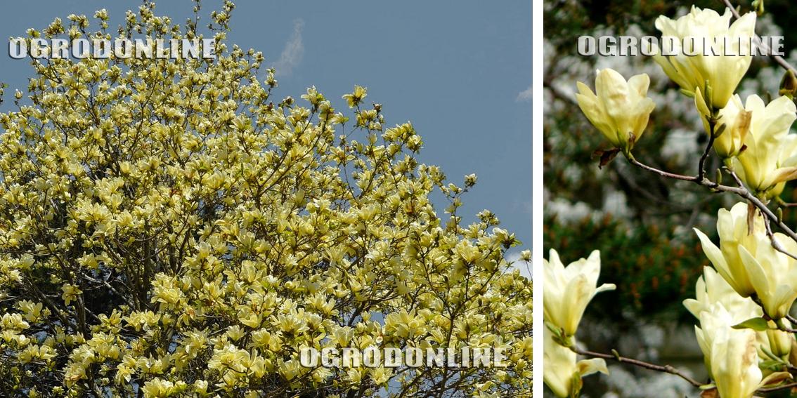 magnolia naga 39 yellow river 39 drzewa i krzewy li ciaste. Black Bedroom Furniture Sets. Home Design Ideas